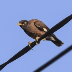 Acridotheres tristis (Common Myna) at Higgins, ACT - 30 Jan 2020 by Alison Milton