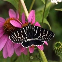 Comocrus behri (Mistletoe day moth) at Bombala, NSW - 30 Jan 2020 by Bruns