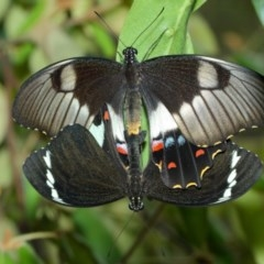 Papilio aegeus (Orchard Swallowtail) at ANBG - 15 Feb 2018 by TimL