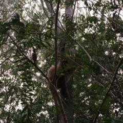 Pseudocheirus peregrinus (Common Ringtail Possum) at Kangaroo Valley, NSW - 23 Jan 2020 by Greg Thompson