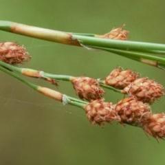 Baloskion tetraphyllum subsp. meiostachyum (Plume Rush, Australian Reed) at Beecroft Peninsula, NSW - 11 Jan 2018 by Nicholas de Jong