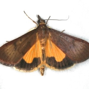 Uresiphita ornithopteralis at Ainslie, ACT - 31 Jan 2020