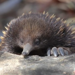 Tachyglossus aculeatus (Short-beaked Echidna) at ANBG - 24 Feb 2018 by Tim L