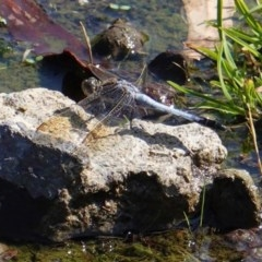 Orthetrum caledonicum (Blue Skimmer) at Red Hill Nature Reserve - 30 Jan 2020 by JackyF