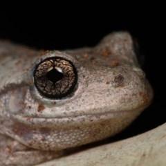 Litoria peronii (Peron's Tree-frog) at Mulligans Flat - 24 Jan 2020 by kdm