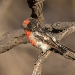 Petroica goodenovii (Red-capped Robin) at Mount Ainslie - 31 Jan 2020 by rawshorty