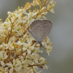 Zizina otis (Common Grass-blue) at Conder, ACT - 8 Jan 2020 by michaelb