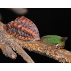 Sextius virescens (Acacia Tree Hopper, Acacia Horned Treehopper) at Mulligans Flat - 24 Jan 2020 by kdm