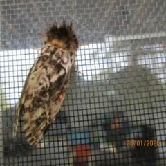 Aglaosoma variegata (A Prominent moth) at Wonboyn, NSW - 28 Jan 2020 by wickedtatz