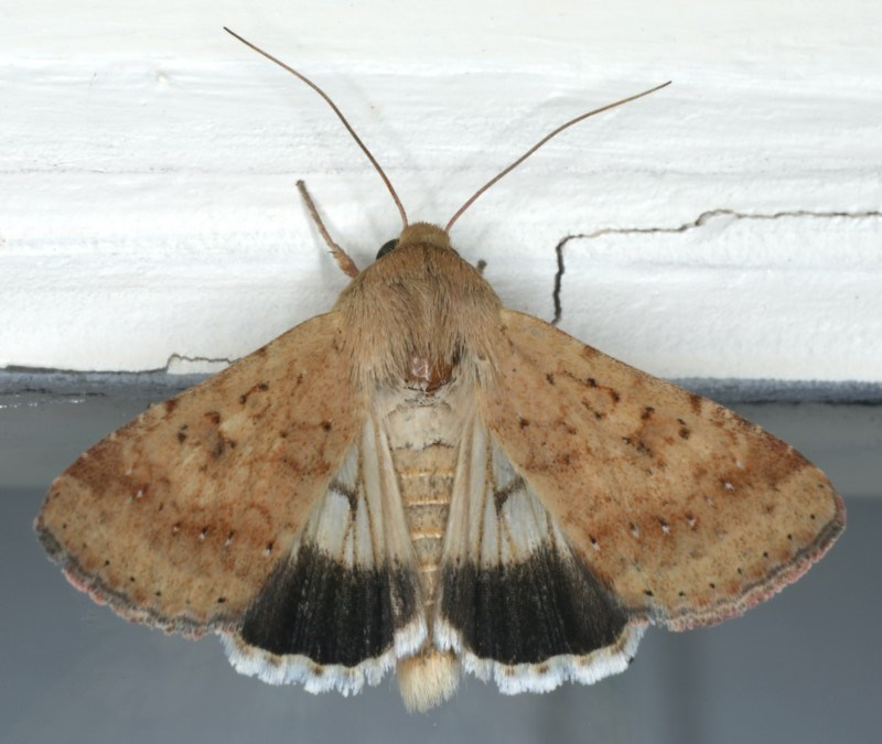 Helicoverpa punctigera at Ainslie, ACT - 1 Feb 2020