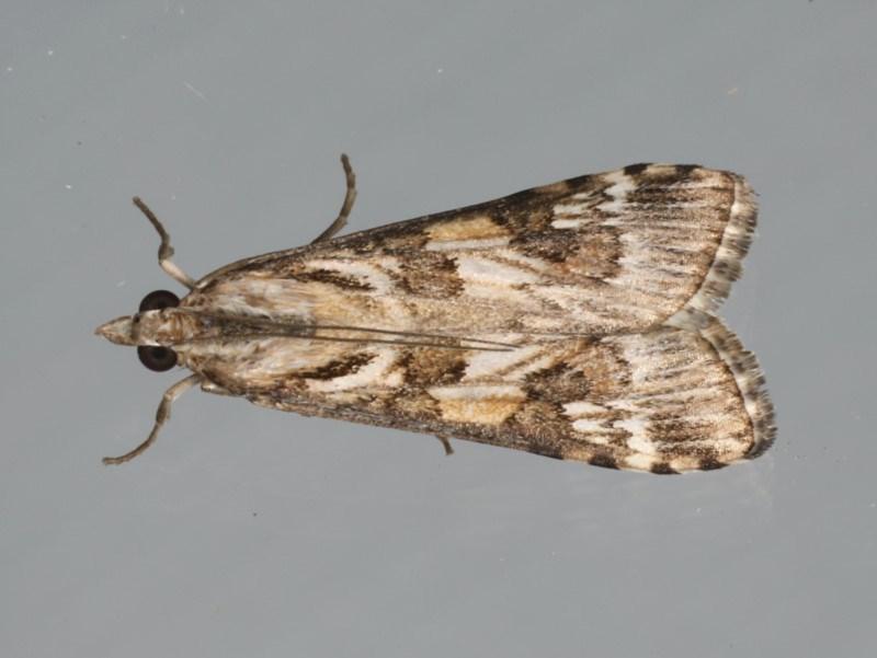 Nomophila corticalis at Ainslie, ACT - 1 Feb 2020