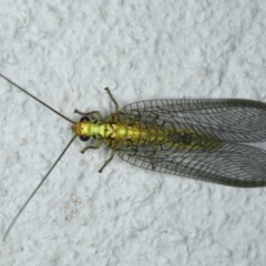 Italochrysa insignis (A Green Lacewing) at Ainslie, ACT - 1 Feb 2020 by jbromilow50