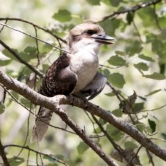 Dacelo novaeguineae (Laughing Kookaburra) at Umbagong District Park - 30 Jan 2020 by AlisonMilton