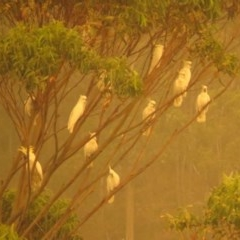 Cacatua galerita (Sulphur-crested Cockatoo) at Tura Beach, NSW - 1 Feb 2020 by LizAllen