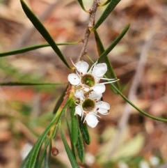 Kunzea ericoides (Burgan) at Black Mountain - 2 Feb 2020 by shoko