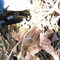 Austroscolia soror (Blue-winged flower wasp) at Aranda, ACT - 3 Feb 2020 by Jubeyjubes