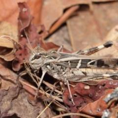 Oedaleus australis (Australian Oedaleus) at Mount Majura - 25 Feb 2017 by TimL