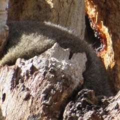 Trichosurus vulpecula (Common Brushtail Possum) at Lake Ginninderra - 3 Feb 2020 by Christine