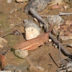 Goniaea australasiae (Gumleaf grasshopper) at - 20 Oct 2018 by JanHartog