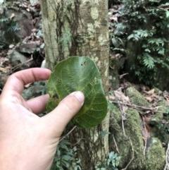 Dendrocnide excelsa (Stinging Tree) at Wattamolla, NSW - 2 Feb 2020 by WattaWanderer