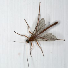 Netelia sp. (genus) at Ainslie, ACT - 18 Dec 2019