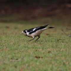 Grallina cyanoleuca (Magpie-lark) at Mittagong - 7 Oct 2018 by JanHartog