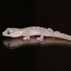 Christinus marmoratus (Southern Marbled Gecko) at Evatt, ACT - 3 Feb 2020 by Tim L