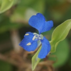 Commelina cyanea (Scurvy Weed) at Seven Mile Beach National Park - 15 Mar 2018 by gerringongTB