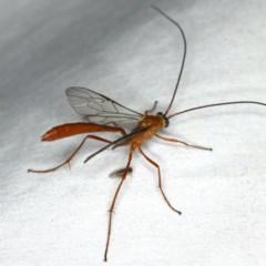 Enicospilus dubitator at Ainslie, ACT - 27 Jan 2020