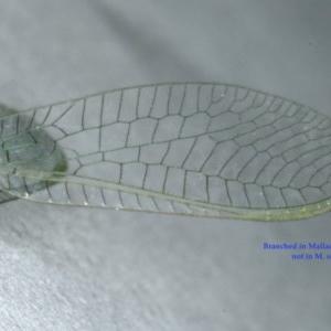 Mallada sp. (genus) at Ainslie, ACT - 24 Oct 2019