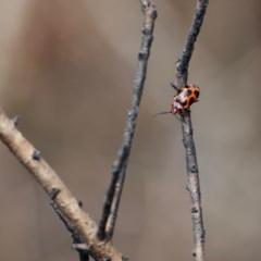 Phyllocharis cyanicornis (Leaf beetle) at Yatte Yattah, NSW - 19 Jan 2020 by Brigitte