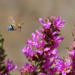 Amegilla (Zonamegilla) asserta (Blue Banded Bee) at ANBG - 3 Feb 2020 by RodDeb