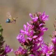 Amegilla (Zonamegilla) asserta (Blue Banded Bee) at Acton, ACT - 3 Feb 2020 by RodDeb