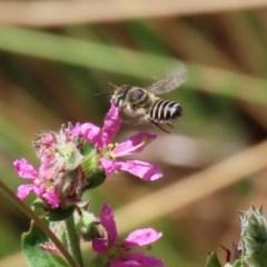 Megachile (Eutricharaea) serricauda (Leafcutter bee, Megachilid bee) at Acton, ACT - 3 Feb 2020 by RodDeb