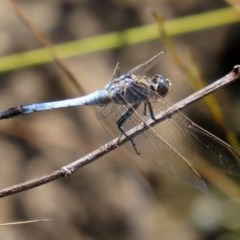 Orthetrum caledonicum (Blue Skimmer) at Acton, ACT - 3 Feb 2020 by RodDeb