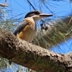 Todiramphus sanctus (Sacred Kingfisher) at ANBG - 3 Feb 2020 by RodDeb