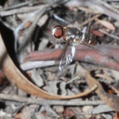 Villa sp. (genus) (Unidentified Villa bee fly) at Black Mountain - 31 Jan 2020 by Harrisi