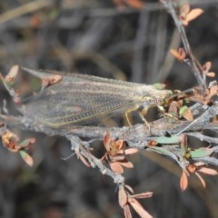 Myrmeleontidae (family) (Unidentified Antlion Lacewing) at Black Mountain - 31 Jan 2020 by Harrisi