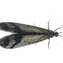 Glenoleon pulchellus at Ainslie, ACT - 5 Feb 2020