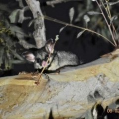 Trichosurus vulpecula (Common Brushtail Possum) at Fowles St. Woodland, Weston - 6 Feb 2020 by AliceH
