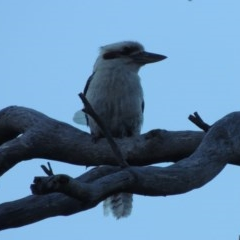 Dacelo novaeguineae (Laughing Kookaburra) at Pine Island to Point Hut - 6 Feb 2020 by michaelb