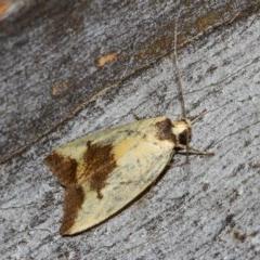 Ageletha hemiteles (Webbing Moth) at Black Mountain - 11 Dec 2017 by Thommo17