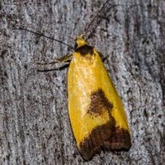 Ageletha hemiteles (Webbing Moth) at Black Mountain - 9 Nov 2017 by Thommo17