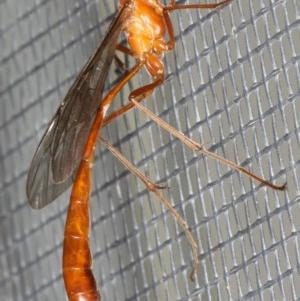 Enicospilus insularis at Ainslie, ACT - 5 Feb 2020