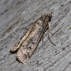 Lasiosticha opimella (A Pyralid moth) at Black Mountain - 11 Dec 2017 by Thommo17