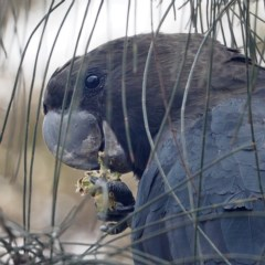 Calyptorhynchus lathami (Glossy Black-cockatoo) at Batemans Marine Park - 4 Feb 2020 by David