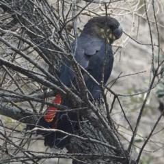 Calyptorhynchus lathami at Batemans Marine Park - 5 Feb 2020