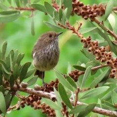 Acanthiza pusilla (Brown Thornbill) at Jerrabomberra Wetlands - 6 Feb 2020 by RodDeb