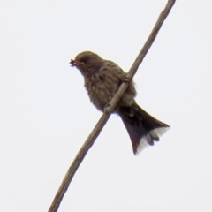 Artamus cyanopterus (Dusky Woodswallow) at Jerrabomberra Wetlands - 6 Feb 2020 by RodDeb
