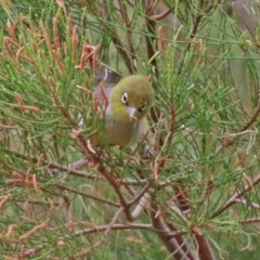 Zosterops lateralis (Silvereye) at Jerrabomberra Wetlands - 6 Feb 2020 by RodDeb